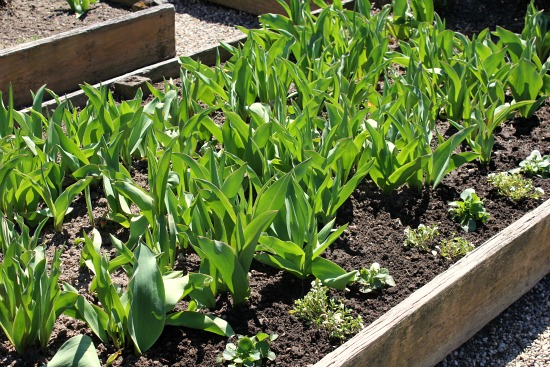 tulips raised garden bed