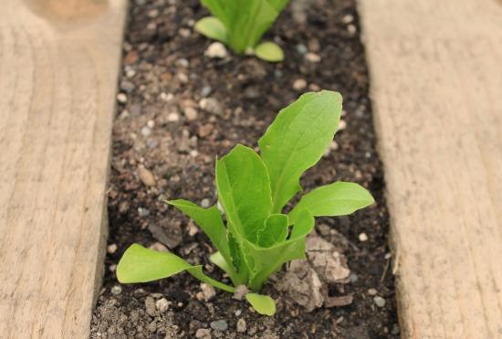 wood pallet garden lettuce