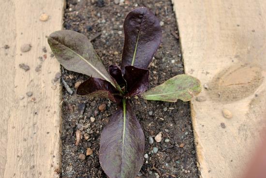 wood pallet gardening lettuce