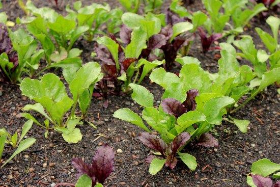 Raised Garden Beds Cabbage Radishes Onions Broccoli