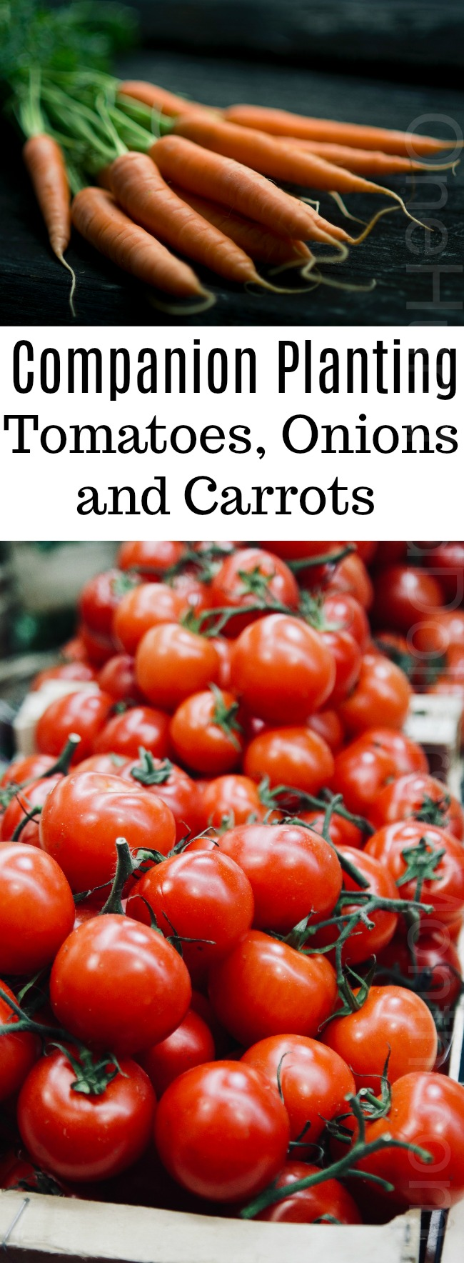 Companion Planting: Tomatoes, Onions and Carrots
