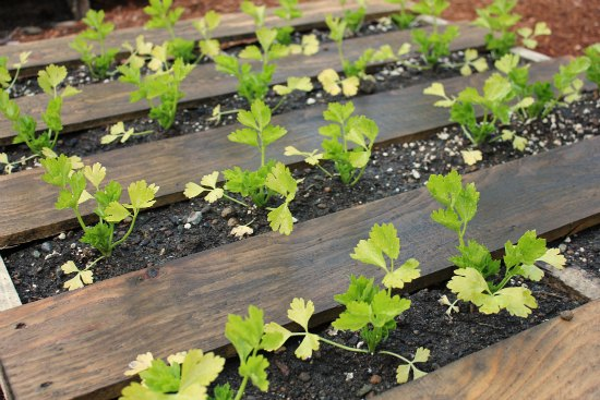 Celery in pallets vegetable garden layout pinterest for Pallet veggie garden