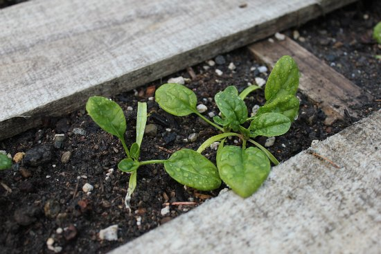 DIY Recycled Wood Pallet Garden spinach