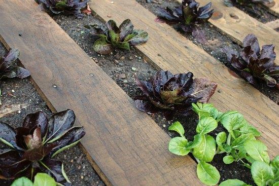 DIY Wood Pallet Garden Lettuce