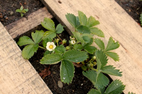 DIY Wood Pallet Garden strawberries