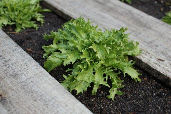 DIY Wood Pallet Gardening lettuce