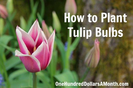 How to Plant Tulip Bulbs