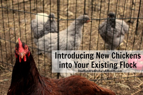 Introducing New Chickens into Your Existing Flock