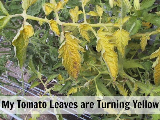 My Tomato Leaves are Turning Yellow