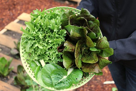 Pallet gardening organic salad greens