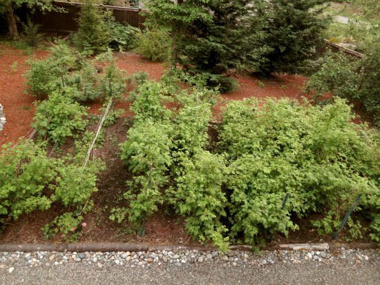 best raspberries to grow in Washington