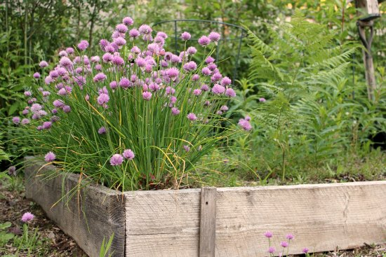 blooming chives