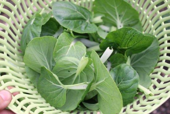 bok choy leaves