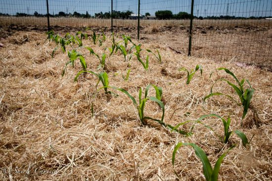 corn growing in a field