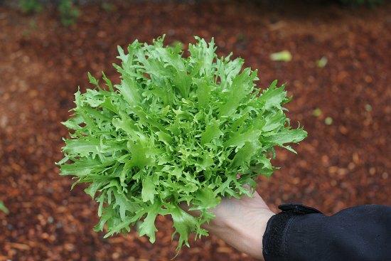 endive lettuce