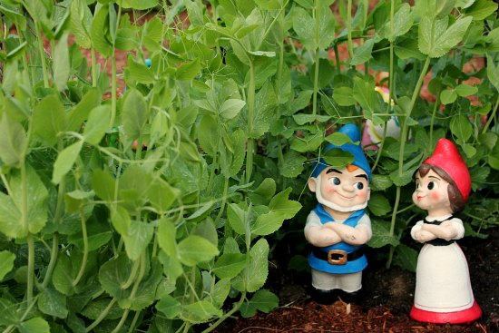 Mavis Garden Blog – Peas, Potatoes and Herbs