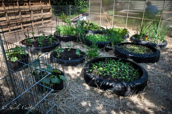 grow potatoes in tires