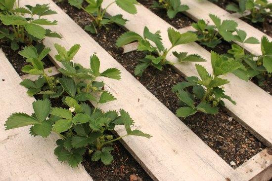 Grow strawberries in wood pallets