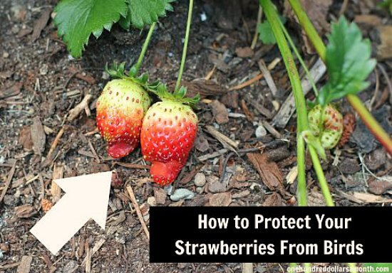 Garden Tips and Tricks How to Protect Your Strawberries From Birds