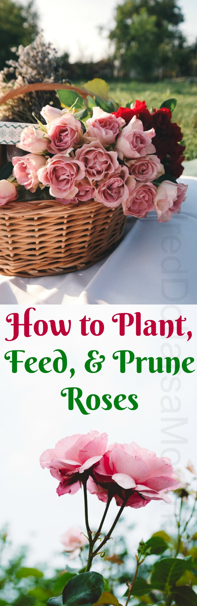 How to Plant, Feed, and Prune Roses