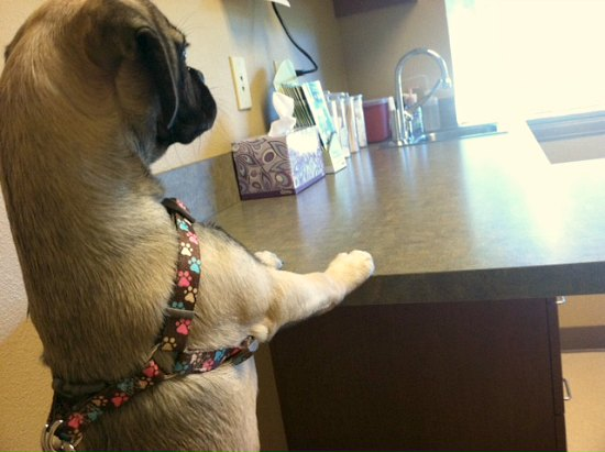 Lucy the Puggle Dog Gets a Microchip and Some Other Not So Fun Stuff