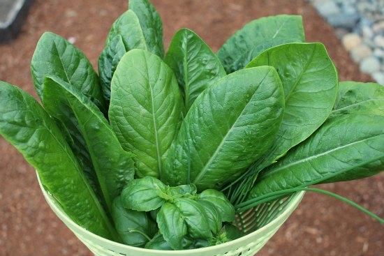 organic romaine lettuce basil chives