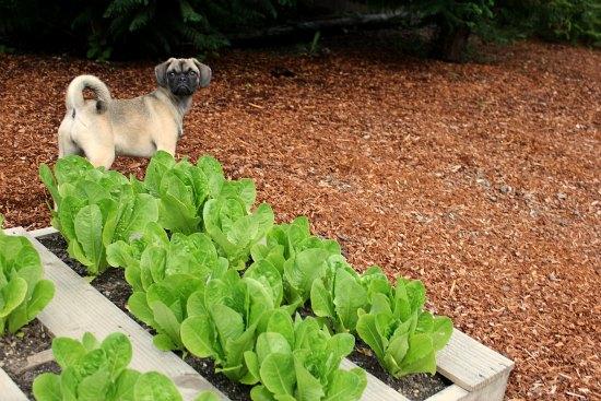 Wood Pallet Garden – Harvesting Lettuce