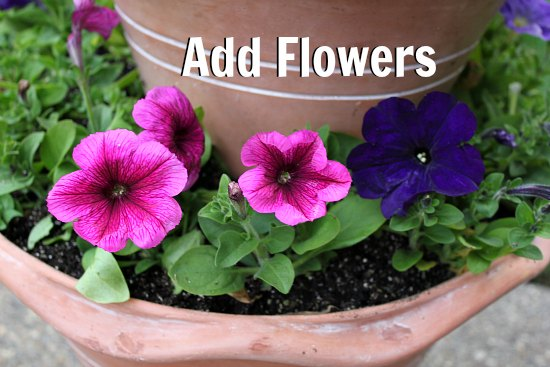 petunias in terra cotta pot