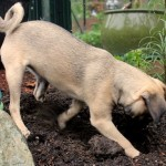 puggle puppy digging in garden