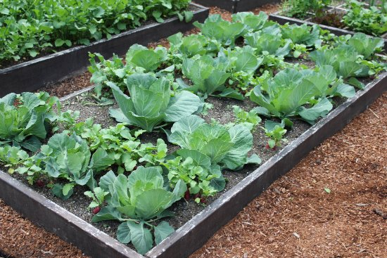 raised garden beds organic cabbage heads