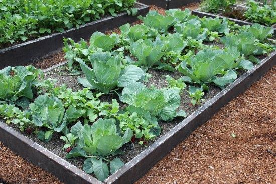 raised garden beds organic cabbage heads