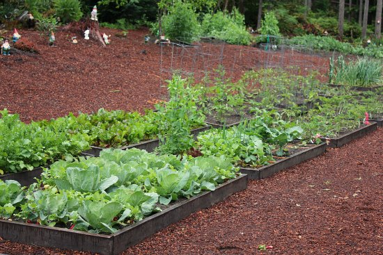 Raised Garden Beds – Beans, Tomatoes, Beets, Carrots, Peas and Radishes