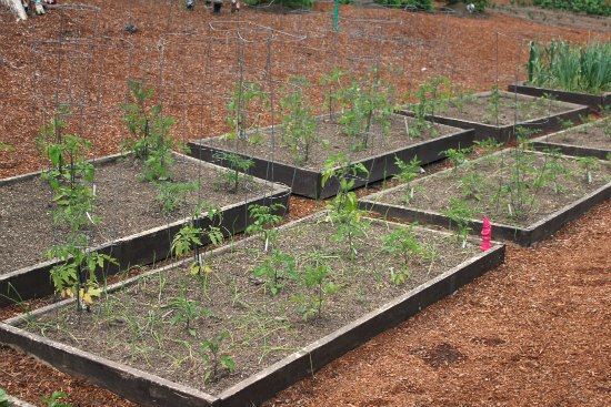 raised garden beds organic tomatoes