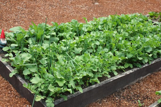 raised garden  beds radish