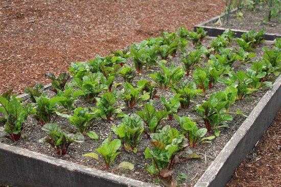 raised garden beds rainbow  Swiss chard