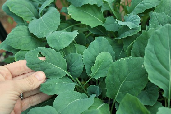 slugs cabbage leaves