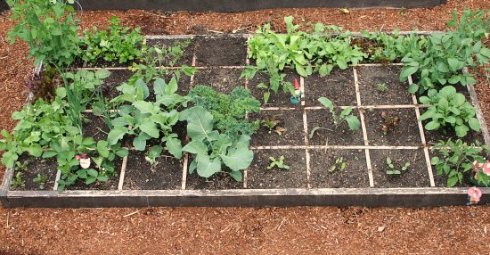 square foot gardening pictures