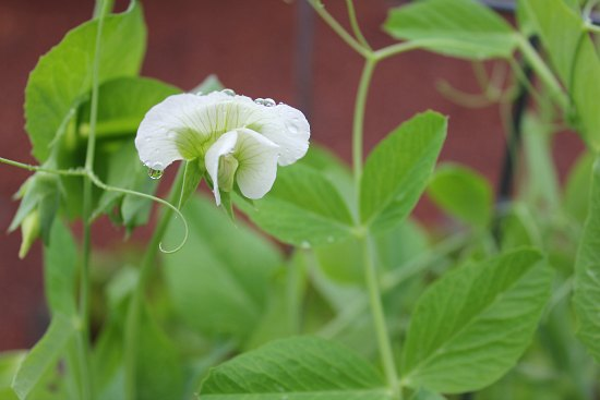sugar snap pea flower