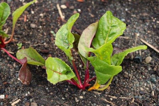 swiss chard plant