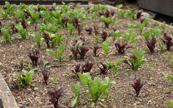young beet greens