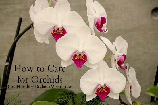 How to care for orchids one hundred dollars a month - How to care for potted orchids ...