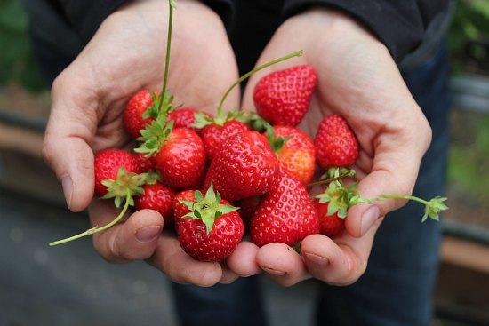 fresh strawberries in hand