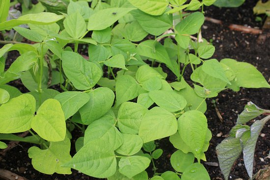 green beans square foot gardening