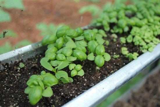 grow basil in gutters