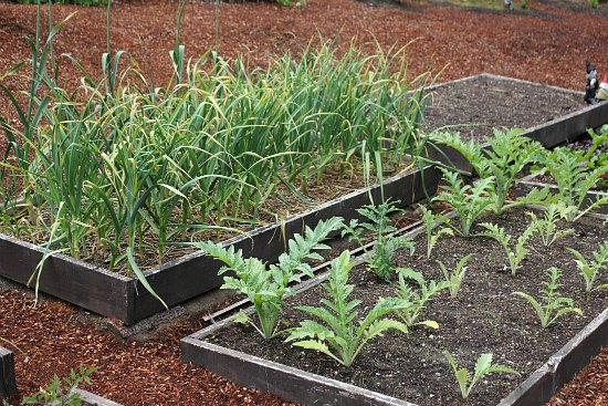 growing garlic and artichokes