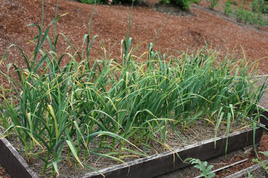 Planting Garlic in the Fall for a Summer Harvest