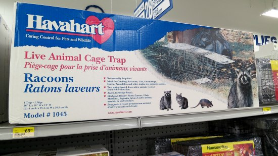 how to trap racoons