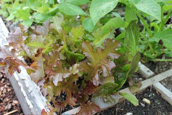 lettuce leaf letuce