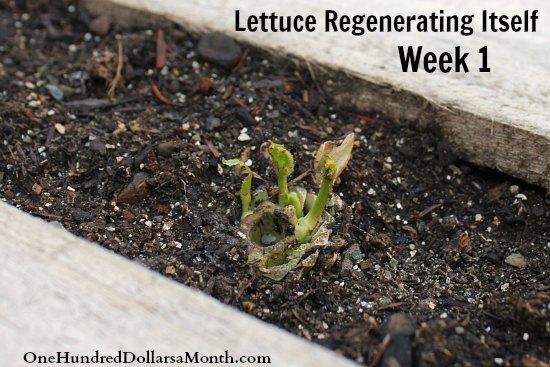 lettuce regenerating itself