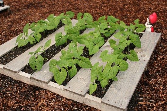 pallet gardening beans